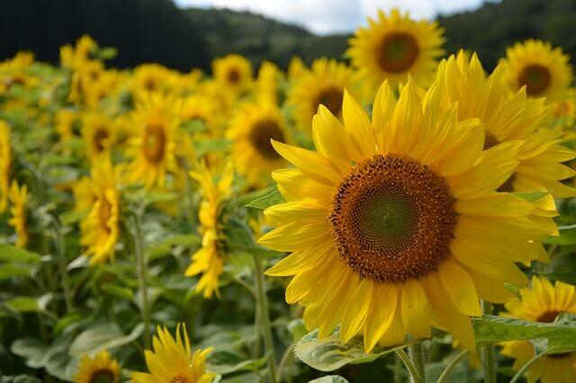 sunflower-891015_640